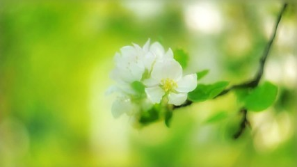 Apple flowers wiggling under the wind