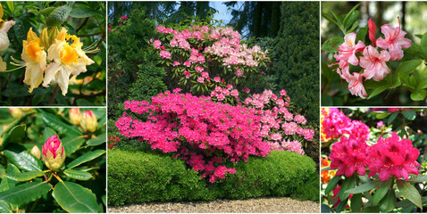 Rhododendrons in a garden