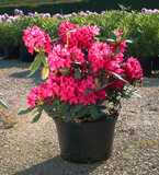 Rhododendron in the pot