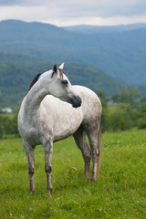 gray horse to stand on a green meadow against mountains