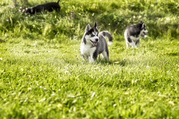 Two husky puppy running around the meadow