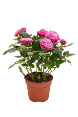 Houseplant mini pink rose on white background