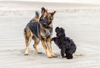 Two dogs play fighting on a sandy beach