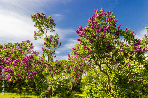 Foto op Plexiglas Lilac Lilac bushes and trees