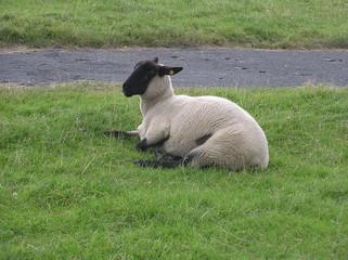 Schaf ruht sich am Deich aus