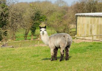 Alpaca animal like Llama South American camelid