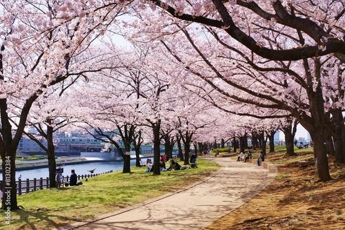 Fotobehang Kersen 桜並木