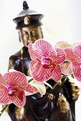 Gemusterte rote Orchideen vor Buddha Figur