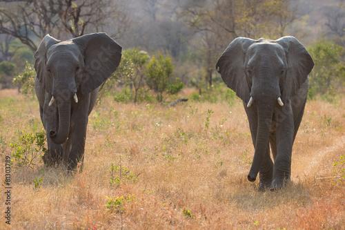 Two elephant bulls walking through bush