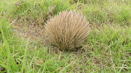 Echidna looking for food in the bush