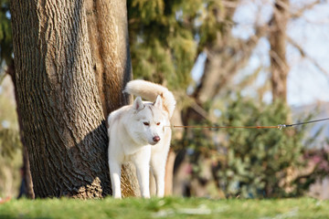 Husky with blue eyes pooping in a dog park