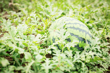 Watermelon on the green watermelon plantation