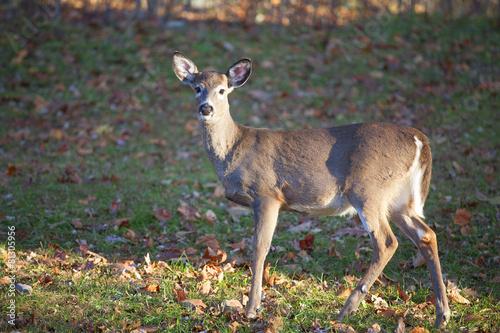 Fotobehang Hert Solitary deer