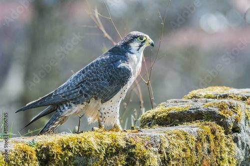 Foto op Canvas Eagle Wanderfalke auf Felswand