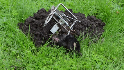 hand put animal caught with steel metal trap near mole hill