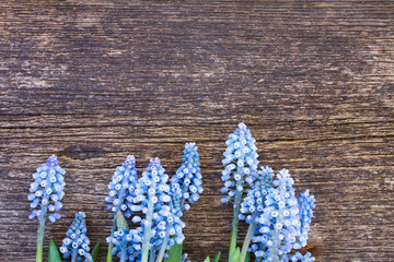 Muscari flowers on table