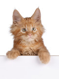 Cute ginger kitten peeping from behind whiteboard