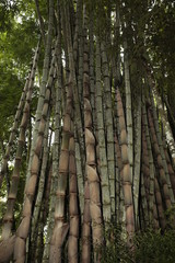 Bambú.