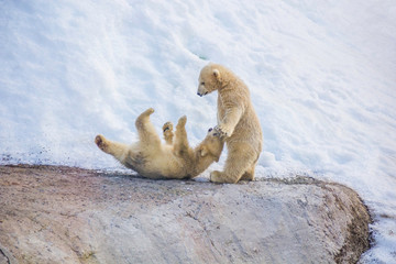 Two little bears playing in the snow