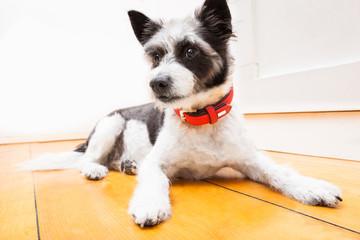 terrier dog on the floor