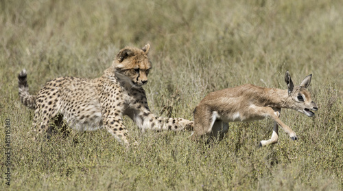 Poster Antilope cheetah and cubs learning to hunt.