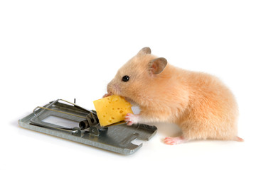 free cheese is only in a mousetrap