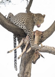 leopard with a kill.