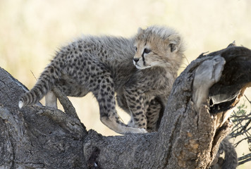 Africa, Tanzania Serengeti National Park, young  cheetah cub.