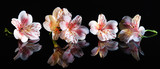 Alstroemeria. Beautiful flowers with reflection