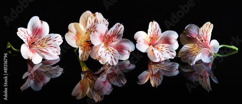Fototapeta samoprzylepna Alstroemeria. Beautiful flowers with reflection