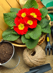 Gardening tools and beautiful red primula in flowerpot