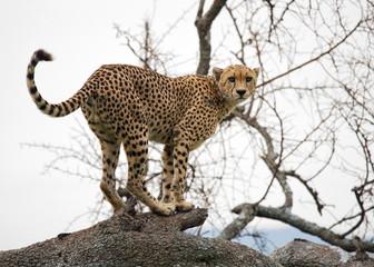 Cheetah on the tree. Tanzania. Serengeti.
