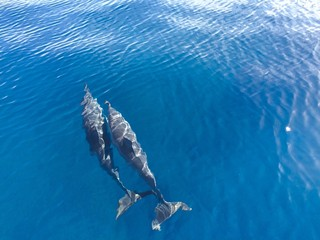 A pair of Spinner Dolphins