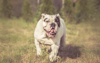 Wet English Bulldog shake