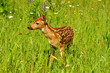 Baby Fawn White Tailed Deer in a field of wildflowers.
