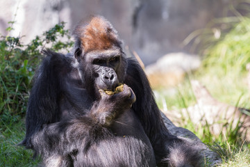 Gorilla - (Gorilla gorilla)