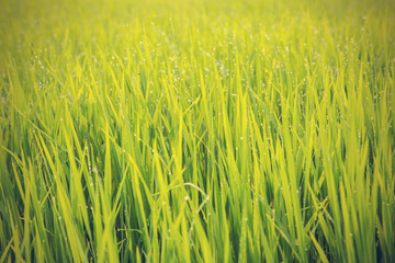 close up of morning dew on rice field - Vintage effect style pic