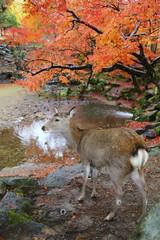 晩秋の奈良公園 鹿と紅葉