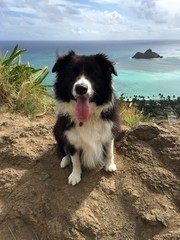 Bordercollie dog on Lanikai Pillboxes trail in Oahu, Hawaii