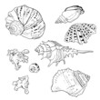 Set of vector hand drawn seashells - 81331168
