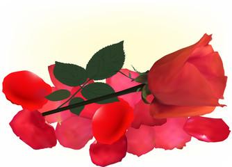 single rose flower on red petals
