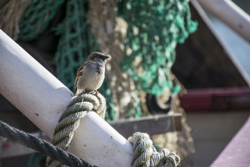 Sparrow on a boat
