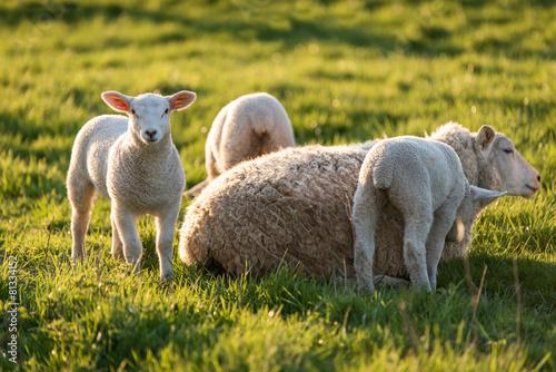 Deurstickers Schapen Brebis et agneaux