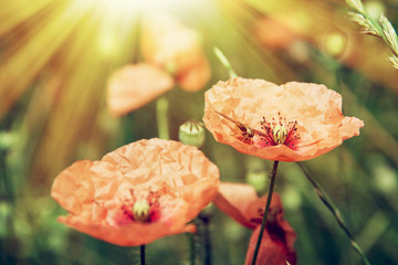 Sun-drenched red poppy