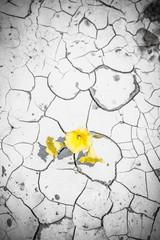Blooming flower in cracked dirt