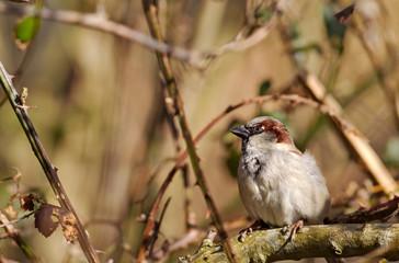 Common house Sparrow in bramble bush