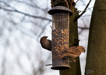 Sparrows on a garden feeding station