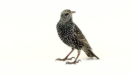 starling on  white screen