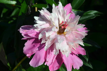 Peony with dew drops