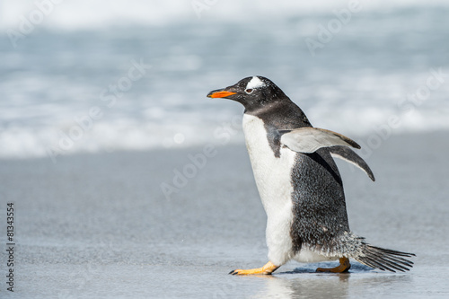 Spoed canvasdoek 2cm dik Antarctica Cute little gentoo penguin neat the ocean water in Antarctica